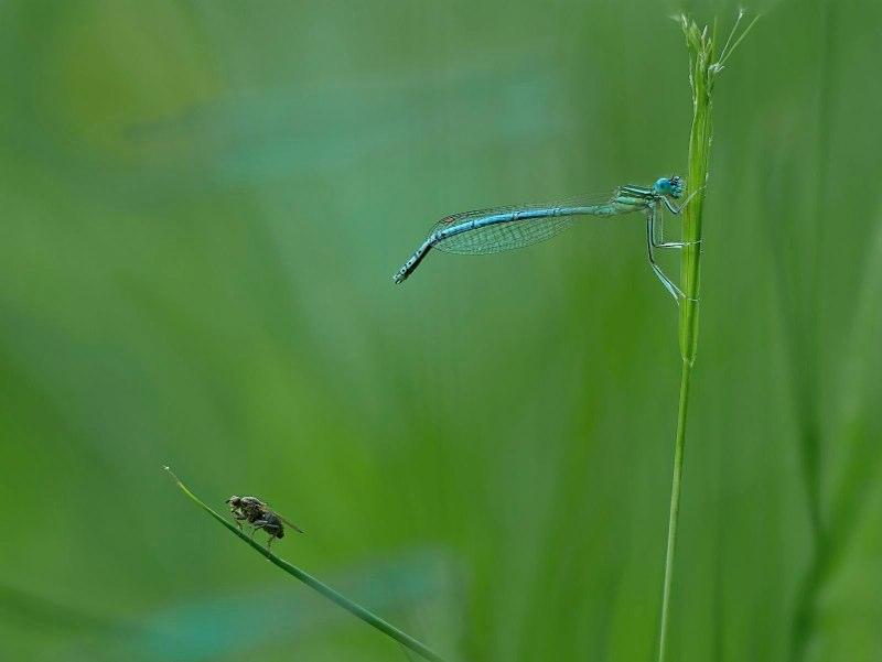 fliege-libelle