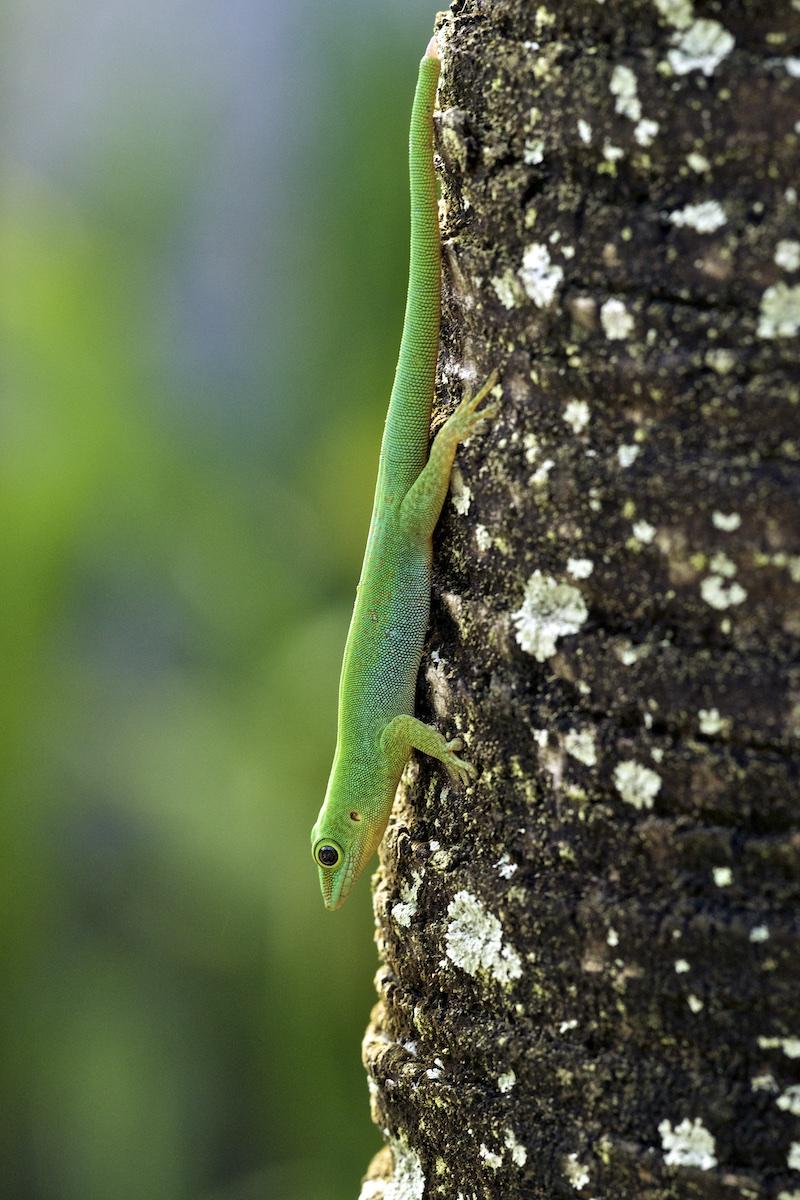 Gecko (Phelsuma) 031