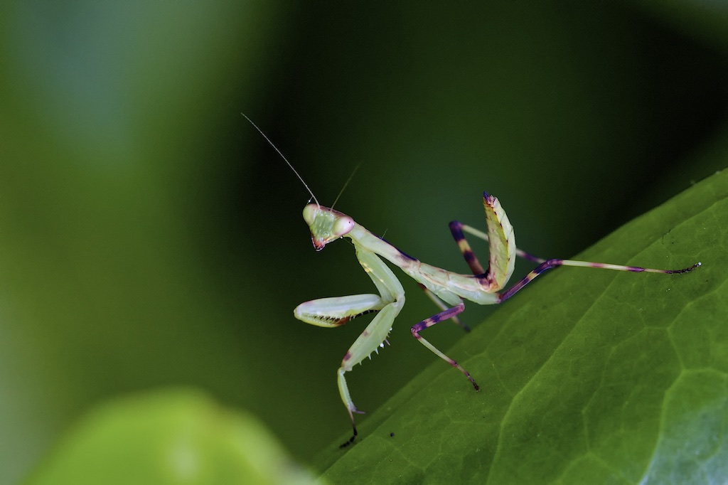 Praying Mantis 033