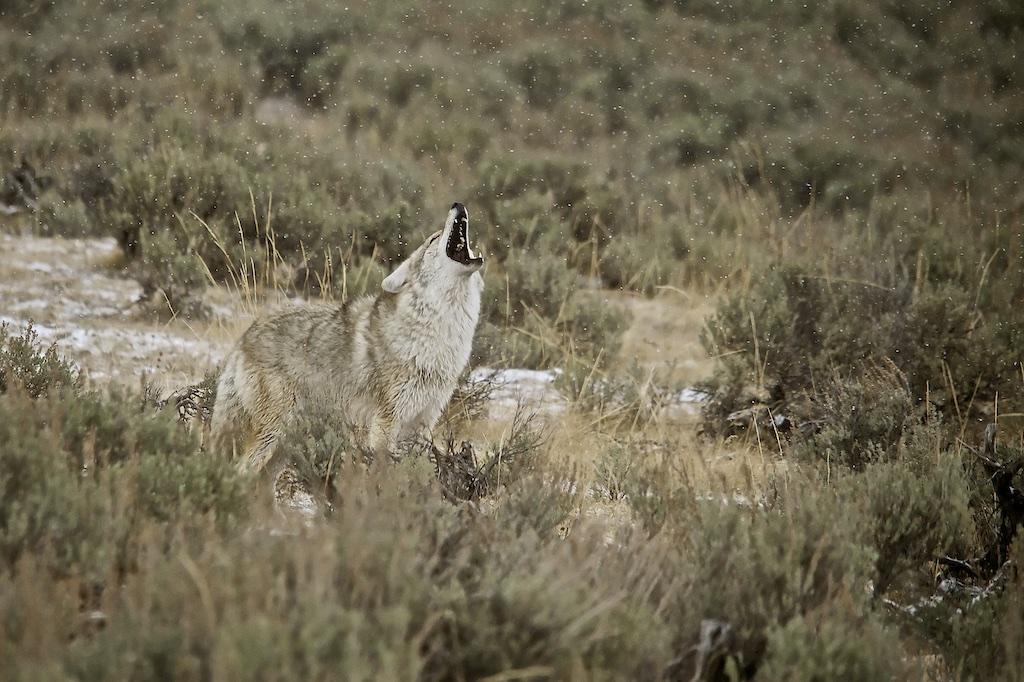 Coyote 023