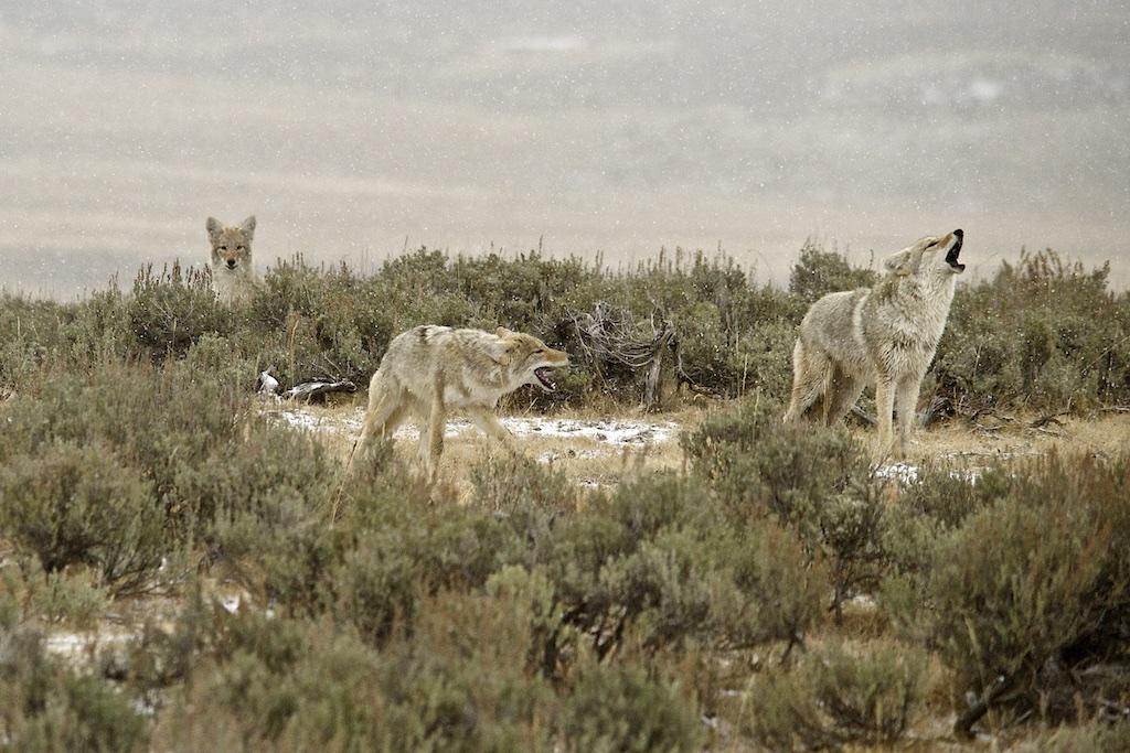 Coyote 024