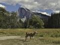 Half Dome and Deer 013