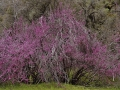 Red Bud Tree 008